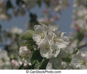 white spring tree bloom