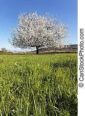 white spring tree