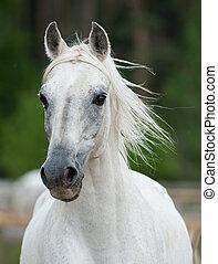 beautiful white arabian stallion fron view