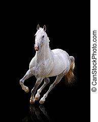 white stallion runs