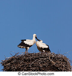 White stork baby birds in a nest