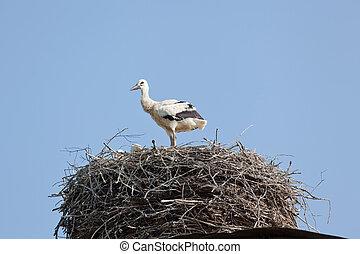 White stork baby birds in a nest