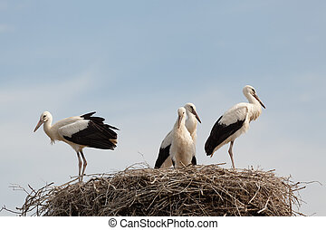 White stork baby birds in a nest - The white stork young...