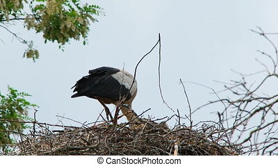 White Stork Eating In The Nest - In the frame there is one...