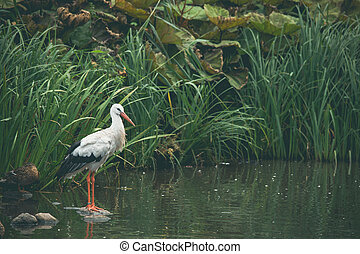 White stork in a river