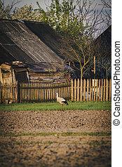 White stork on the field