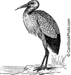 White Stork or Ciconia ciconia vintage engraving