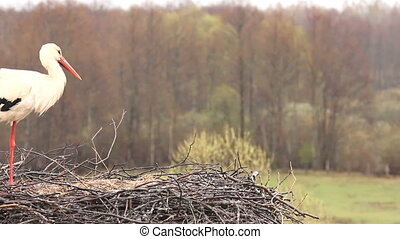White stork standing on the nest