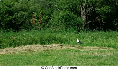 White stork walking on the field in search of food