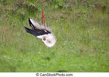 White-stork with flexible neck doing morning gymnastics