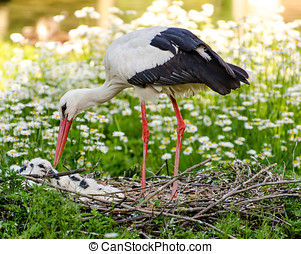 White stork with offspring