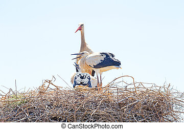 White stork with young baby storks on the nest