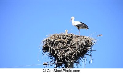 White storks in a nest on a pole