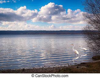 white storks on a lake
