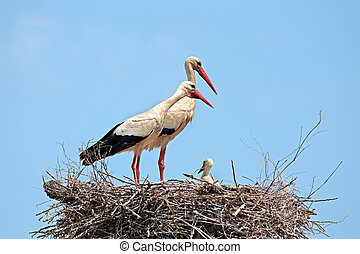 White storks with young baby stork on the nest