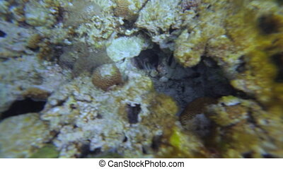 White-Striped Fish, GBR, Lady Elliot Island