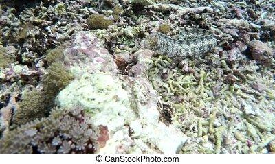 White stripped murena on Coral reef, underwater snorkeling scene Bali, Nusa Penida