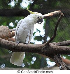 sulphur - white sulphur crested cockatoo cacatua galerita