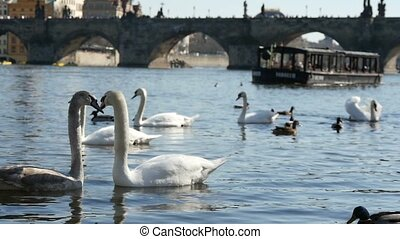 White swams swimming on the Vltava river in prague in slow motion