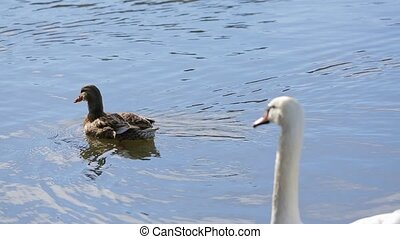 Tranquil scene of one white swan and one female wild duck peacefully floating in clear blue water of the lake.