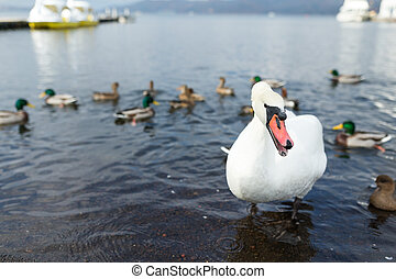 White swan and duck in the lake