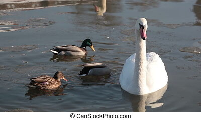 white swan and three ducks float in the winter lake