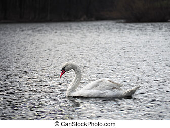 White swan at lake top view