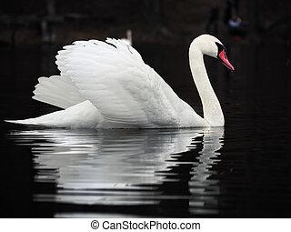 White swan at the dark lake background