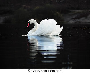 White swan at the dark lake background with the beautiful reflecion at the water