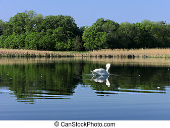 White swan at the lake near the forest
