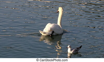 white swan at the pond - a white swan swimming at the...