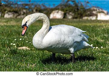 White swan eating near the lake