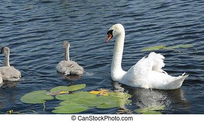 white swan family in the lake