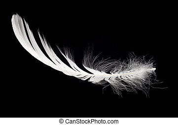 white swan feather isolated over black background