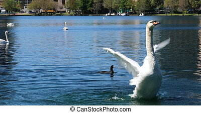 Beautiful White Swan Flapping Its Wings On Lake Eola Park, Central Florida, United States, Close Up - DCi 4K Resolution