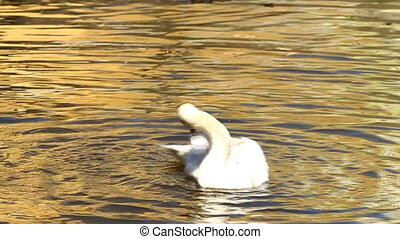 White swan flapping wings