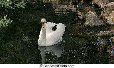 White swan floating in a pond - Beautiful white swan...