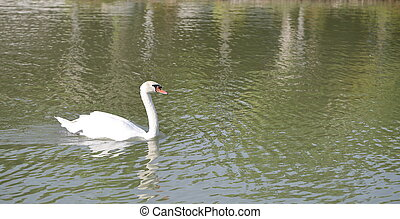 White swan floating in the water