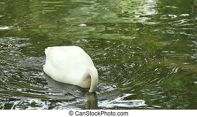 white swan floating on the surface of a pond