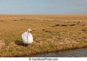 White swan in Dutch meadows