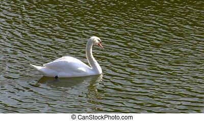 White Swan in Lake Water