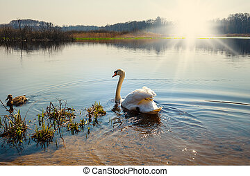 White swan in the lake at the dawn.