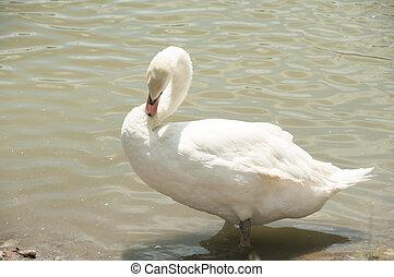 White swan in the lake.