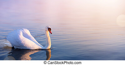 white Swan in the spring lake