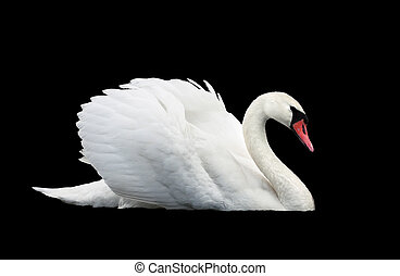 White swan isolated at the black