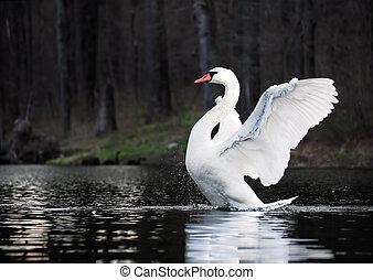 White swan landing at the lake