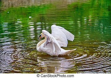 White swan on a lake