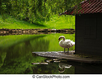 White swan on a pond in a city park in summer on a background of greenery