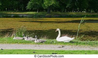 white swan on grass