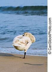 White Swan on the Beach